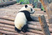 Moment emoționant cu un panda, sursa pixabay/ autor Sharon Ang
