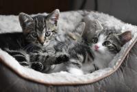 Pisici, sursa pixabay/ autor Helga Kattinger