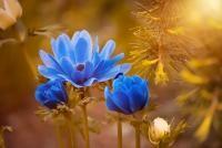 Tradiții și obiceiuri de Florii, sursa pixabay / autor Pezibear
