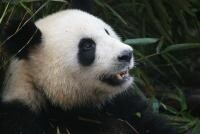 Urs panda, sursa pixabay/ autor einszweifrei