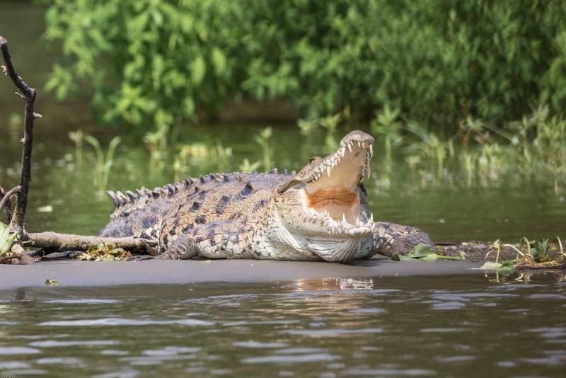 Crocodil, sursa pixabay/ autor D Mz