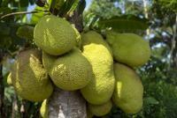 Jackfruit, sursa pixabay/ autor Reinout Dujardin