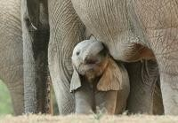 Elefanți, sursa pixabay